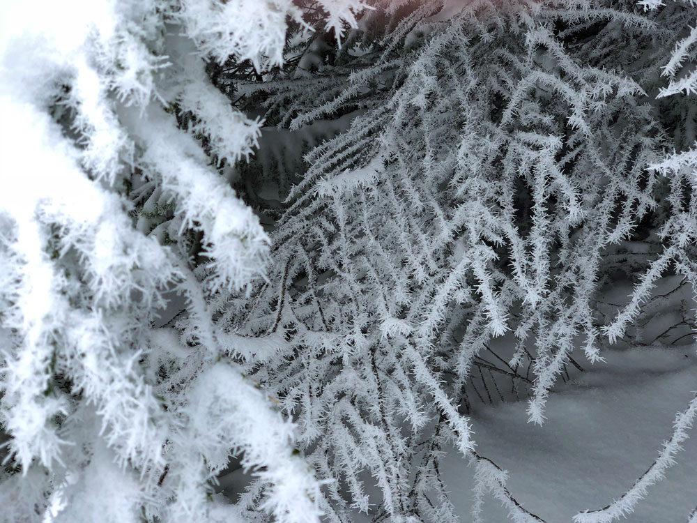 Frost on evergreen trees.