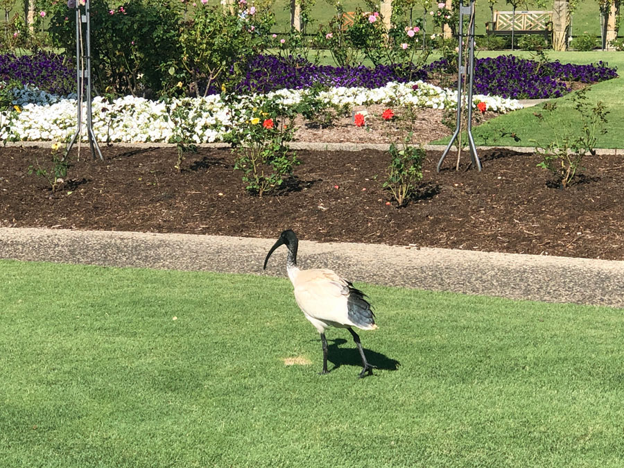 An ibis at the Sydney Royal Botanical Gardens.