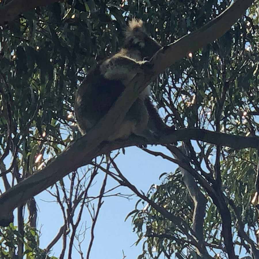 Koalas lived in the eucalytus trees near our stop on the Great Ocean Road.