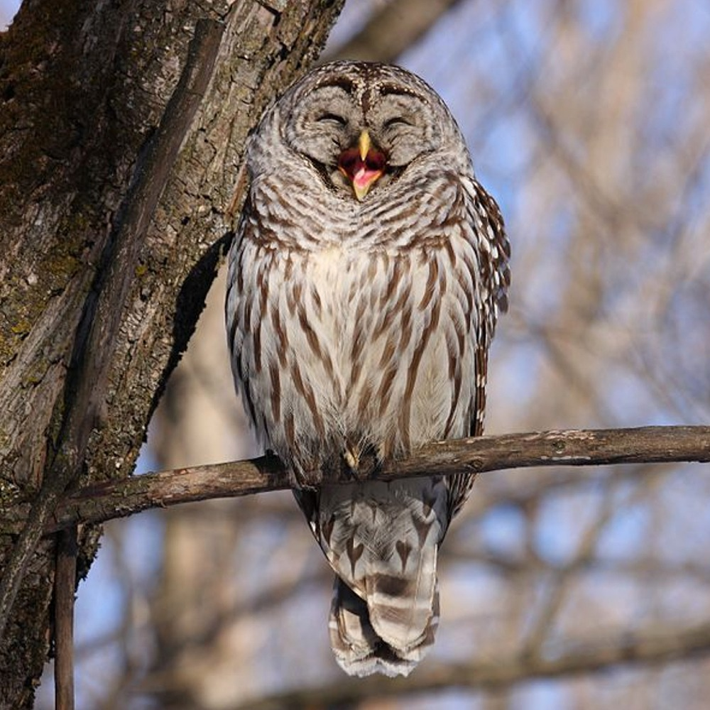 online jigsaw puzzle barred owl
