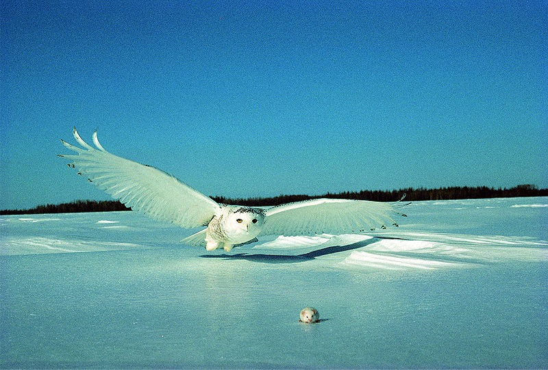 Online Jigsaw Puzzle - Snowy Owl hunting